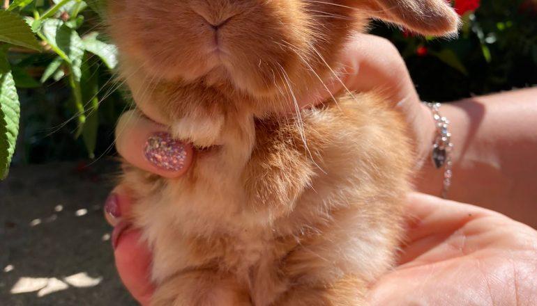 Bellissimi coniglietti di ariete nano fulvo
